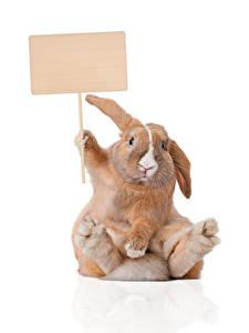 Fotos Kaninchen Weißer hintergrund Vorlage Grußkarte Sitzend Lustiges Tiere