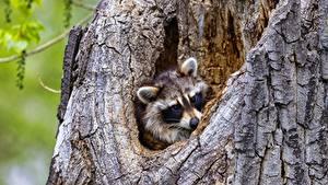 Fotos Waschbären Blick ein Tier