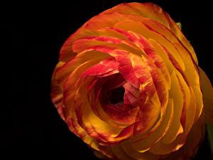 Bureaubladachtergronden Boterbloem Van dichtbij Zwarte achtergrond bloem