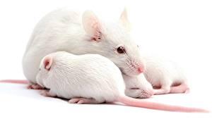 Fotos Ratten Jungtiere Nahaufnahme Weißer hintergrund Tiere