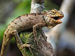 Bilder Reptilien Unscharfer Hintergrund Ast Pfote Leguane Tiere