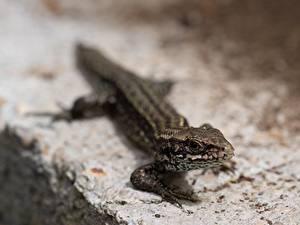 Bilder Reptilien Bokeh Echsen Blick ein Tier