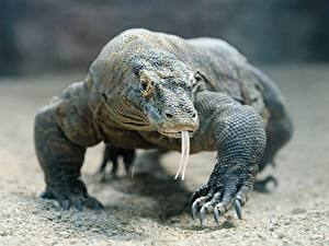Hintergrundbilder Reptilien Blick Zunge Pfote Bokeh Komodo dragon Tiere