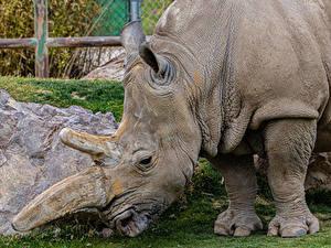 Hintergrundbilder Rhinozeros Großansicht ein Tier
