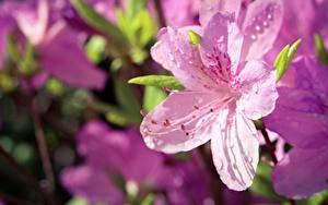 Bilder Rhododendren Bokeh Rosa Farbe Tropfen Blumen