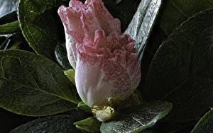 Bilder Rhododendren Großansicht Zwei Blumen
