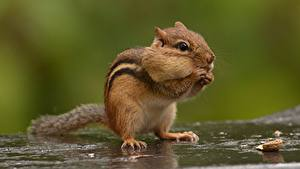 Bilder Nagetiere Streifenhörnchen Nahaufnahme Bokeh ein Tier