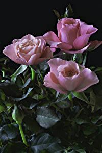 Bilder Rosen Schwarzer Hintergrund Rosa Farbe Drei 3 Blatt Blumen