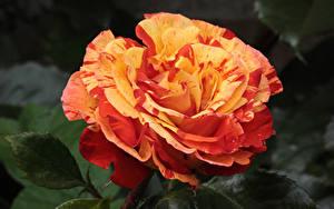 Hintergrundbilder Rose Hautnah Blüte