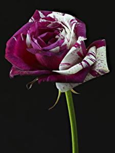 Fotos Rosen Großansicht Schwarzer Hintergrund Blumen
