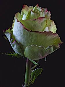 Hintergrundbilder Rose Großansicht Schwarzer Hintergrund Blumen