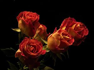 Fotos Rose Hautnah Schwarzer Hintergrund Blüte