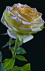Tapety na pulpit Róża Z bliska Czarne tło Kwiaty