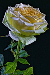 Bilder Rose Großansicht Schwarzer Hintergrund Blumen