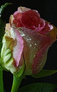Fotos Rosen Großansicht Schwarzer Hintergrund Tropfen Blumen