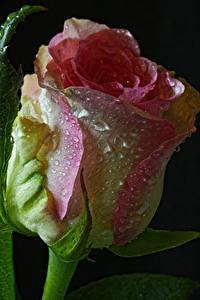 Fotos Rosen Großansicht Schwarzer Hintergrund Tropfen