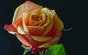 Bilder Rosen Großansicht Schwarzer Hintergrund Tropfen