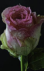 Hintergrundbilder Rosen Nahaufnahme Schwarzer Hintergrund Tropfen Blüte