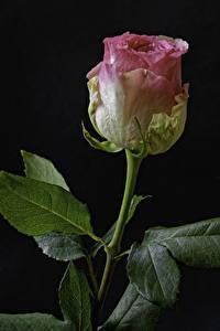 Bilder Rosen Großansicht Schwarzer Hintergrund Rosa Farbe Blumen