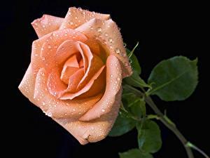 Hintergrundbilder Rosen Großansicht Schwarzer Hintergrund Rosa Farbe Tropfen Blumen