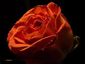 Hintergrundbilder Rosen Großansicht Schwarzer Hintergrund Rot Blüte