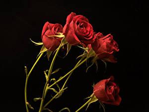 Bilder Rosen Großansicht Schwarzer Hintergrund Rot Blumen