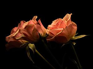 Fotos Rose Hautnah Schwarzer Hintergrund Drei 3 Blüte