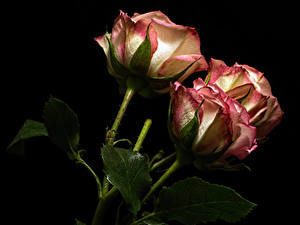Bilder Rose Großansicht Schwarzer Hintergrund Drei 3 Blumen