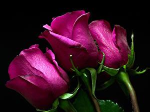 Bilder Rosen Hautnah Schwarzer Hintergrund Drei 3 Violett Blüte