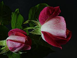 Bilder Rose Hautnah Schwarzer Hintergrund 2 Blüte