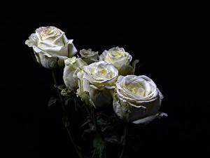 Bilder Rose Großansicht Schwarzer Hintergrund Weiß Blumen