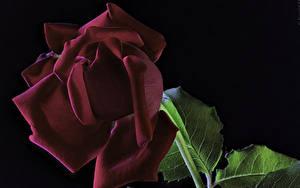 Bilder Rosen Großansicht Schwarzer Hintergrund Bordeauxrot Blumen