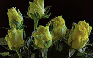 Bilder Rosen Großansicht Schwarzer Hintergrund Gelb