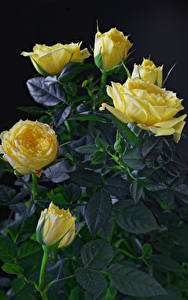 Pictures Roses Closeup Black background Yellow Flowers