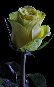 Image Roses Closeup Black background Yellow Flowers