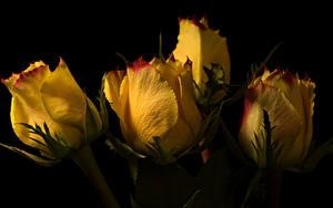 Fotos Rose Hautnah Schwarzer Hintergrund Gelb Blüte