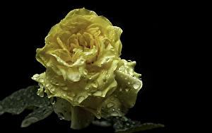 Fotos Rosen Hautnah Schwarzer Hintergrund Gelb Tropfen Blumen