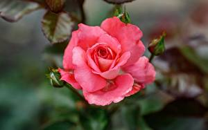 Pictures Rose Closeup Blurred background Pink color flower