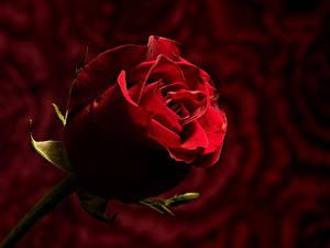 Bilder Rosen Großansicht Bokeh Rot Blumen