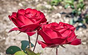 Hintergrundbilder Rose Großansicht Bokeh Zwei Rot Blüte