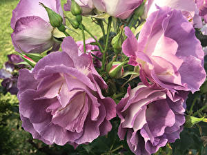 Fotos Rose Hautnah Blütenknospe Blumen