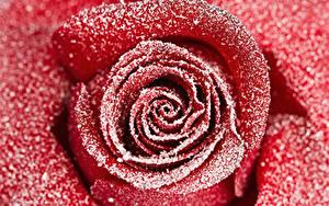 Bilder Rose Nahaufnahme Makro Rot Schnee Blumen