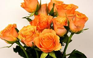 Fotos Rosen Großansicht Orange Blumen