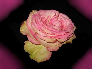 Fotos Rosen Großansicht Rosa Farbe Blumen
