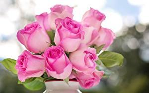 Fotos Rosen Großansicht Rosa Farbe
