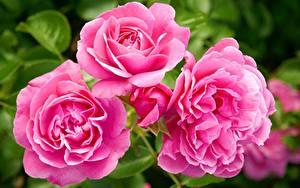 Fotos Rosen Großansicht Rosa Farbe Blüte