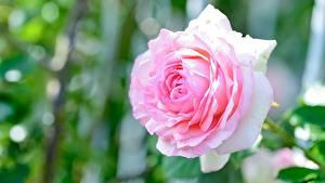 Fotos Rose Hautnah Rosa Farbe Blüte
