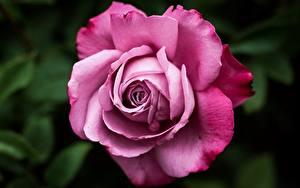 Fotos Rose Großansicht Rosa Farbe Blumen