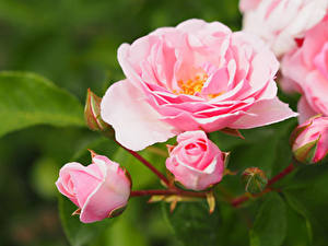 デスクトップの壁紙、、バラ、クローズアップ、ピンク、花
