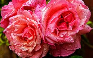 Tapety na pulpit Róże Zbliżenie Różowy kolor Kropli Kwiaty
